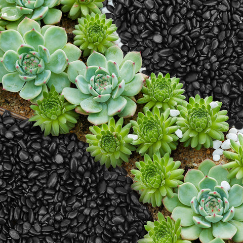 green-succulents-on-the-ground-with-black-and-white-pebbles-covered-around