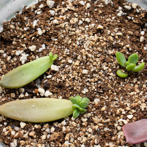 succulent-and-leaf-are-growing-in-potting-soil