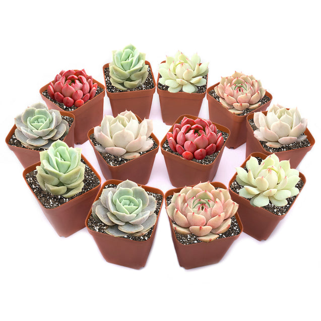 12 Pack of Rosette Succulents(6 Varieties)