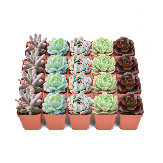 20 Assorted Rosette Succulents in 2'' Pots