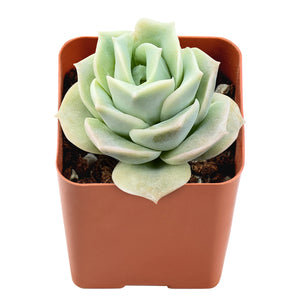 "Lovely Rose' Rosette Succulent in 2"" Plants Container"