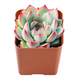 Echeveria Pulidonis(Walther)