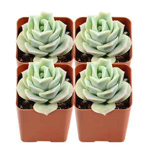 x Graptoveria 'Lovely Rose'(Pack of 4)