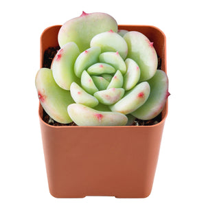 "'Lala' Rare Succulent Variety Rooted in 2"" Planter"
