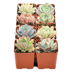 "8 Pack of Assorted Rosettes, Fully Rooted in 2"" Planter Pots with Soil"