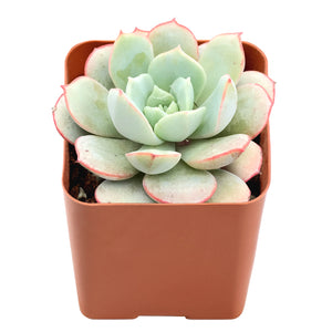 "Echeveria Sbucorymbosa Lau 026, Fully Rooted in 2"" Planter Pot"