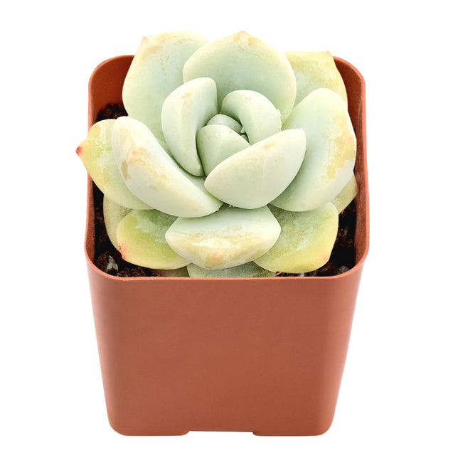 "Echeveria 'Ice Green', Fully Rooted in 2"" Planter Pot"