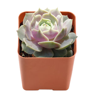 "Lola-Rare Succulent as Houseplant in 2"" Planter"