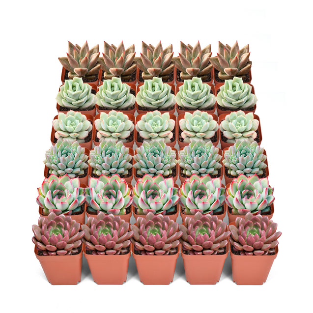 30 Assorted Rosettes Succulents(6 Varieties)