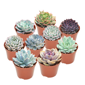 "9 Assorted Rooted Succulents in 4"" Planter Pots with Soil"