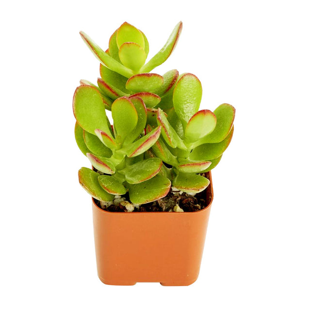 Pink Beauty Jade Plant 5 Fresh cuttings