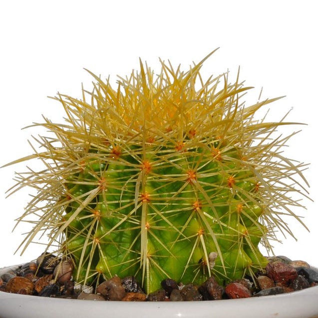 "4"" Plus Echinocactus Grusonii 'Golden Barrel'"