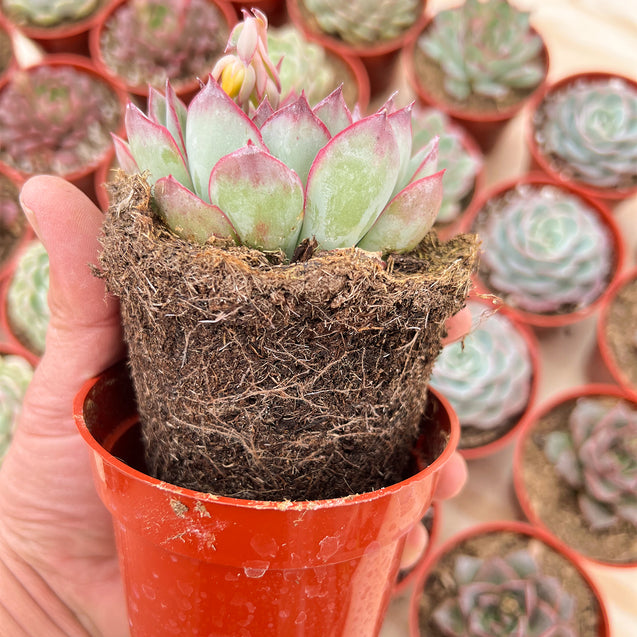 White Polished Pebbles for Succulents Plants Decorative, 1.5Lb, 8-12mm