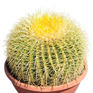 12'' Plus Echinocactus Grusonii 'Golden Barrel'