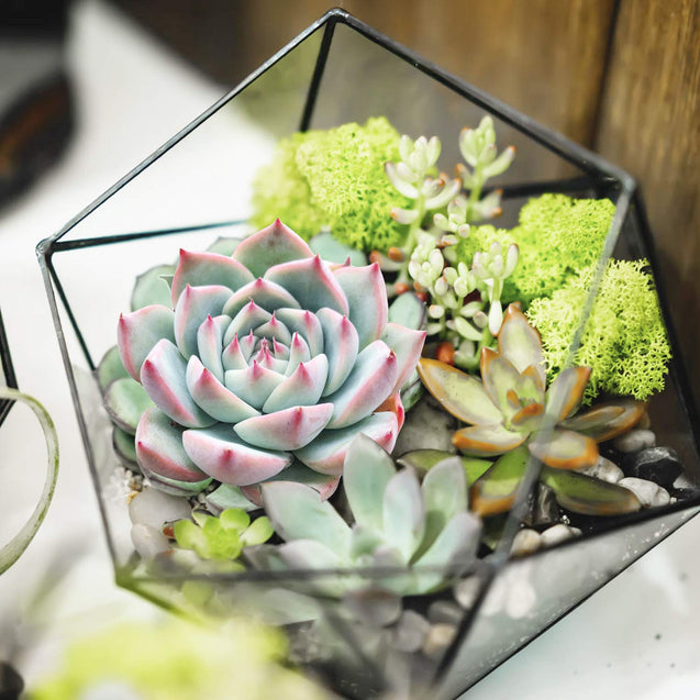 "'Pink Tips' Rosette Succulent in 2"" Plants Container"