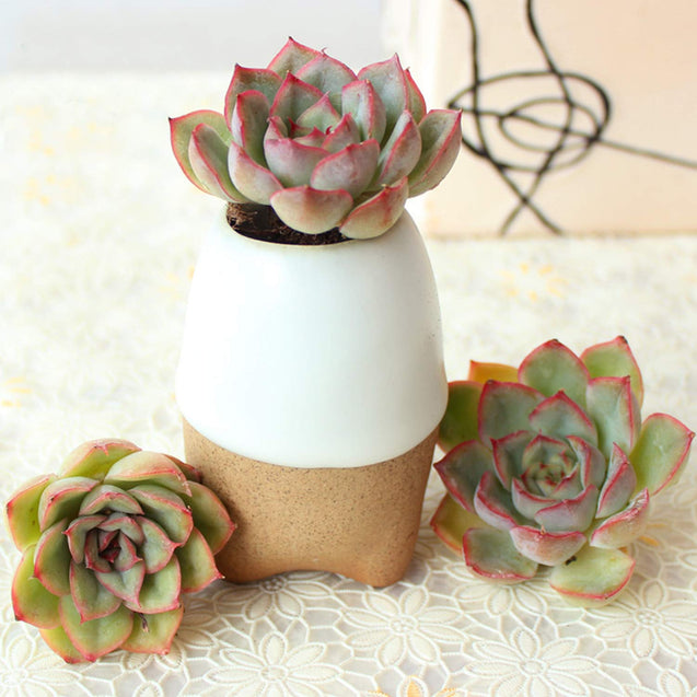 "'Orion' Rosette Succulent in 2"" Plants Container"
