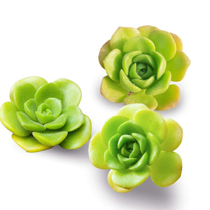 Succulent Aeonium Lily Pad 3 Fresh Cuttings