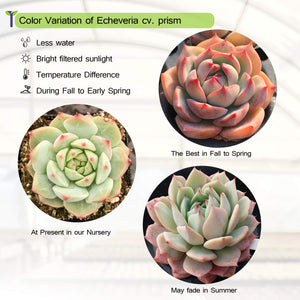 "Echeveria cv. Prism, Rosette Succulent Rooted in 2"" Planter"