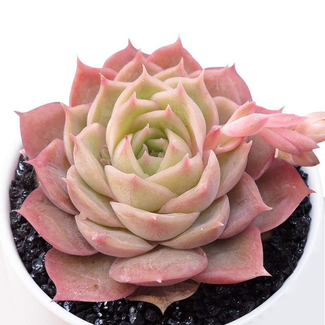 Echeveria Onslow, Fully Rooted in 2 inches Planter Pot