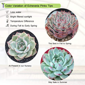 Echeveria 'Pink Tips'