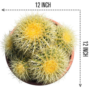 12'' Echinocactus Grusonii 'Golden Barrel'