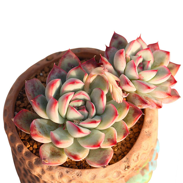 Echeveria Pulidonis, Fully Rooted in 2 inches Planter Pot