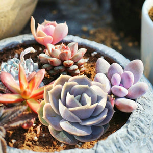 "Blue Surprise', Rosette Succulent in 2"" Plants Container"