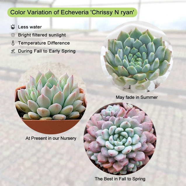 "Echeveria 'Chrissy N Ryan', Rosette Succulent Fully Rooted in 2"" Planter"