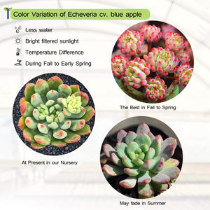 Echeveria cv. Blue Apple/ Blue Elf