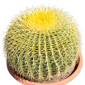 14'' Plus Echinocactus Grusonii 'Golden Barrel'