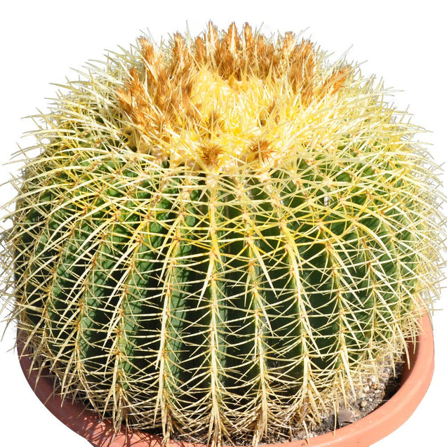 16'' Plus Echinocactus Grusonii 'Golden Barrel'