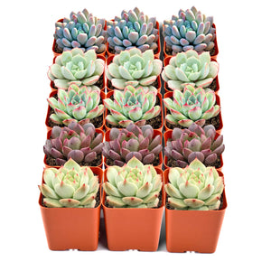 "4 Assorted Rooted Succulents in 4"" Planter Pots with Soil"