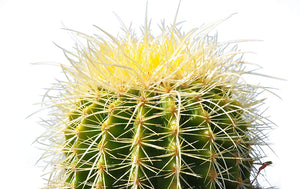"6"" Echinocactus Grusonii ""Golden Barrel"""