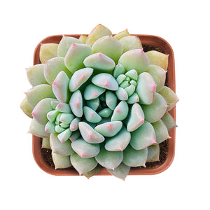 Echeveria 'Chrissy N ryan'