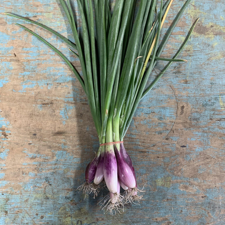 Onion Red Tropiana Elephant Shallot