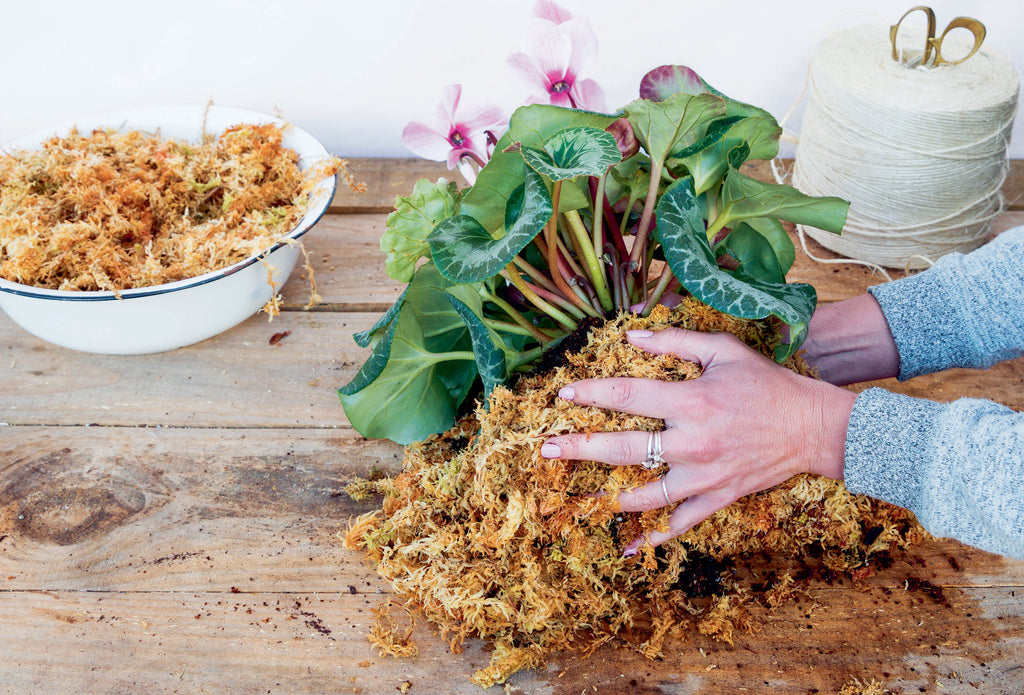 Covering the cyclamen roots with moss