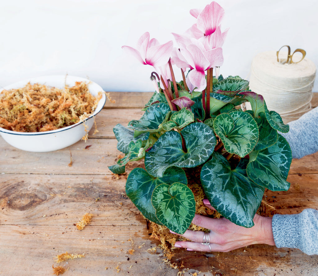 Compressing the soil and roots of the cyclamen kokedama