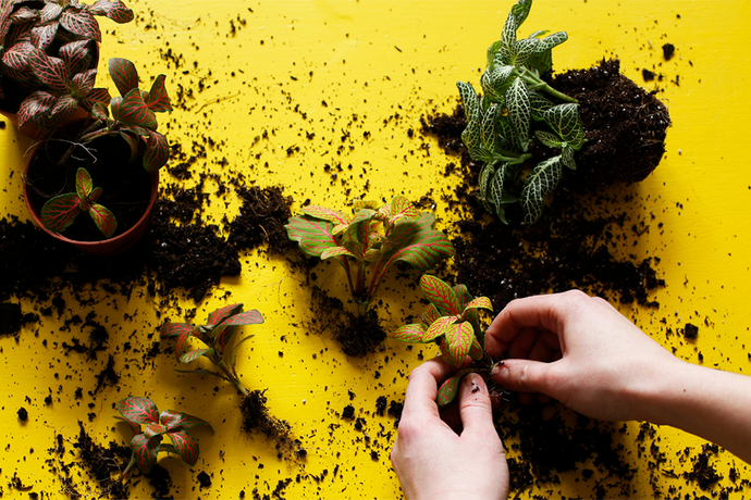 Removing plants from their pots on a bright yellow surface scattered with soil.