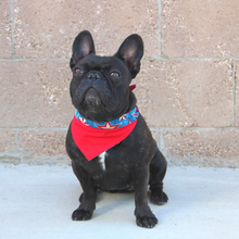 Load image into Gallery viewer, American Pride Frenchie Dog Bandana - Red White and Blue Stars