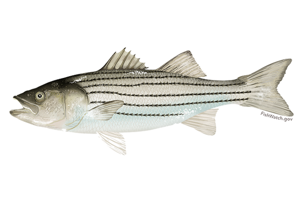 Fresh- Striped Bass Fillet