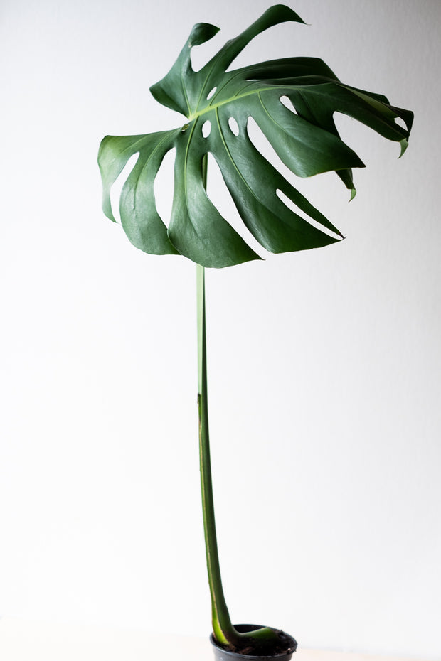 Monstera Deliciosa II