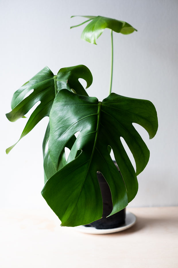 Monstera Deliciosa IV