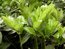 Load image into Gallery viewer, GS132 玉竹 Polygonatum odoratum,4oz