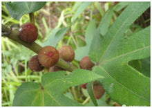 Load image into Gallery viewer, GS134 五指毛桃 Hairy Fig,4oz