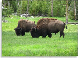 grass-fed bison eating grass photo