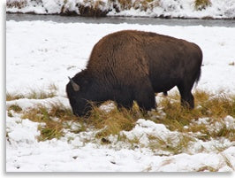 Grass-fed bison eating grass under snow