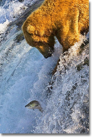 Grizzly Bear Catching Copper River Salmon picture