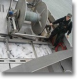 Alaskan Wild Caught Fish Kept on Board Boat picture