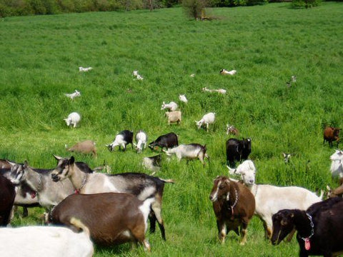 Free Range Goats used to Make Powdered Goat Milk image