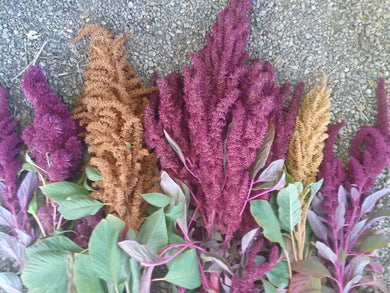 various amaranth plants